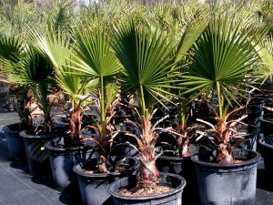 Dallas Tx Weather Growing Washingtonia Filifera